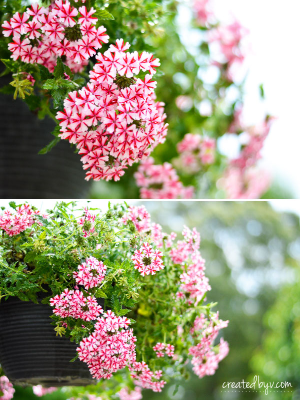 How Does My Garden Grow? // Candy Cane Trailing Verbena - created by v.